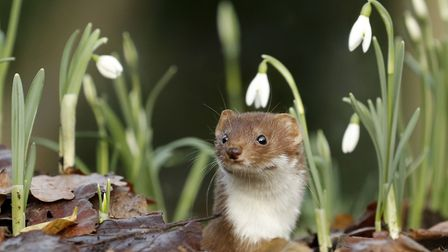 A weasel looking out of hole on woodland floor among the snowdrops