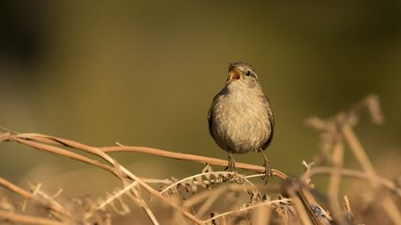 A singing wren, perching on bracken