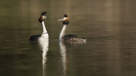 Great crested grebe, pair displaying, Podiceps cristatus, Derbyshire