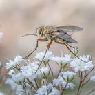 Tachinid Fly by Judi Neachell, Derby City Photographic Club. Selector's Choice, Digital Nature