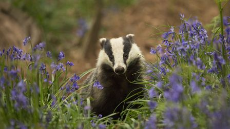 Badger in bluebells (c) Paul Hobson