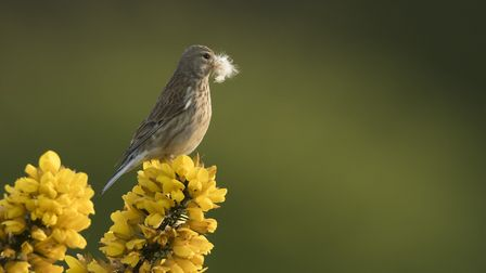 A female linnet with nesting material restin on gorse
