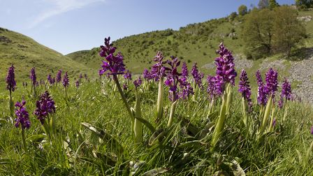 Early purple orchids in the Peak District