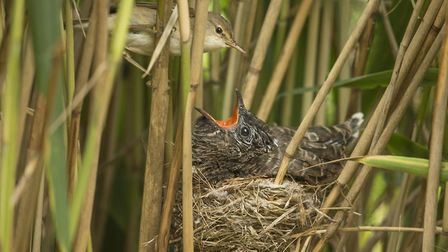 A cuckoo chick in a reed warbler's nest