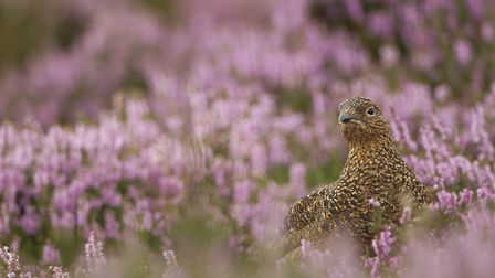 A well-camouflaged red grouse in purple heather, lagopus lagopus scoticus, Peak District (c) Paul Hobson