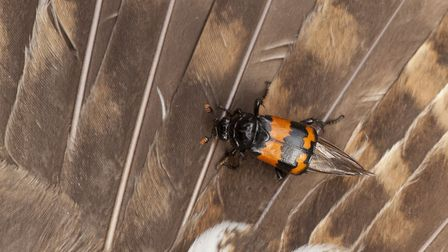 A sexton beetle on the wing of a dead tawny owl