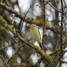 Willow Warbler Photo: Amy Lewis