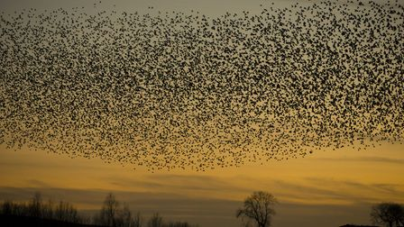 Starling murmuration, Derbyshire, Sterna vulgaris