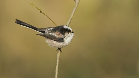 Long tailed Tit, Aegithalos caudatus, perched on twig in the Peak District