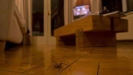 Giant house spider, Tegenaria duellica, crossing a living room floor