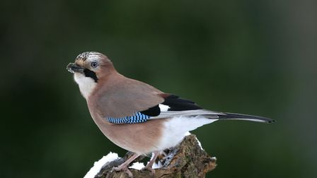 Jay, Garrulus glandarius, Peak District