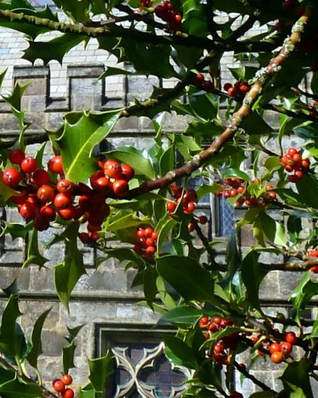 Holly in the churchyard in Hathersage ('Don?t cry or I?ll scratch out your eyes')