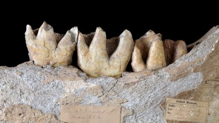 Molar teeth in the lower mandible of the Dream cave woolly rhinoceros. The tooth at the rear of the jaw is still erupting,...