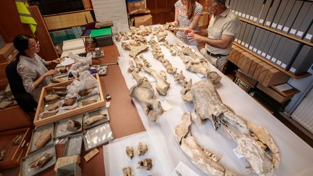 Dr Hilary Ketchum and the author examining the skeleton of the Dream cave woolly rhinoceros at the Oxford University...
