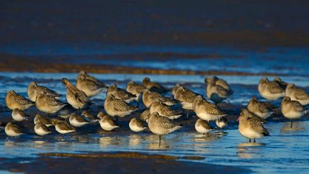 Bar-tailed godwits and dunlin roosting Photo: David Tipling