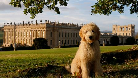 Henry, the Chatsworth Goldendoodle