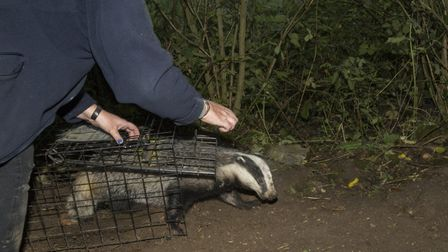 Debbie releases a relieved badger