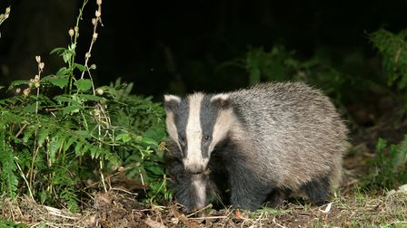 A badger heading out from its sett