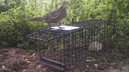 Pheasants never can resist investigating a trap during daylight
