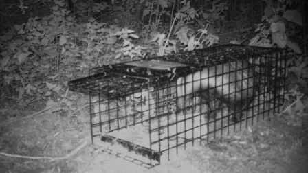 A badger in the trap taken by the trail cam