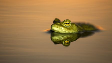 A toad in pond at dawn