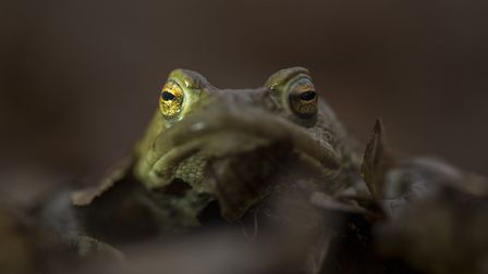 Common toad in early spring