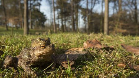 A pair of toads en route to a pond