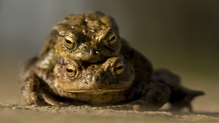 A pair of toads on the way to a pond