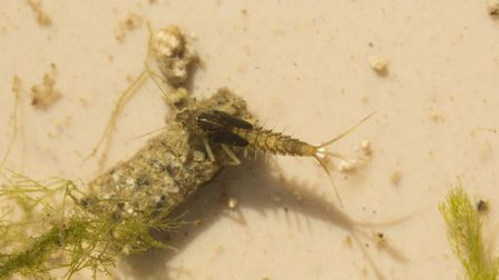 A mayfly nymph