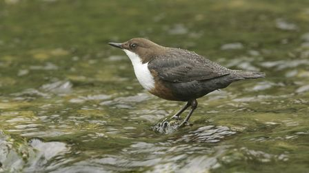 Weir removal should mean more food for birds such as this dipper