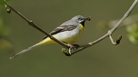 Grey wagtails will profit from the increased water flow