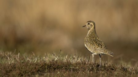 A golden plover, Pluvialis apricaria, 'the most beautiful of Derbyshire's moorland waders' (c) Paul Hobson