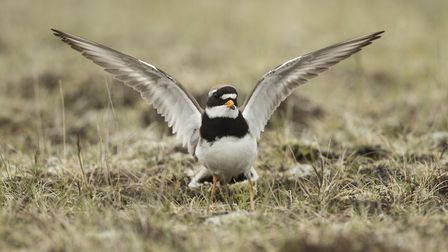 Ringed plover, Charadrius hiaticula, attempting to distract a predator from its nest (c) Paul Hobson