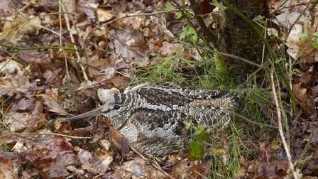 The excellent camouflage of an adult woodcock, Scolopax rusticola, at its nest in the Peak District (c) Paul Hobson