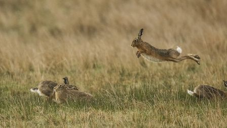 Brown hares on the moorland edge