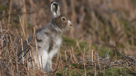 Mountain hare with winter coat changing to summer