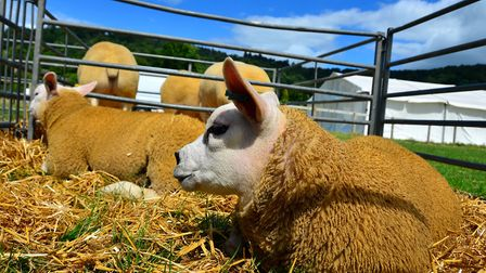 Texel sheep - a breed originally from the Netherlands that produces lean meat and wool used for hosiery yarns and knitting