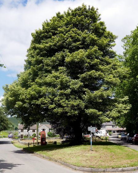 The Sycamore Tree on the Village Green, Earl Sterndale