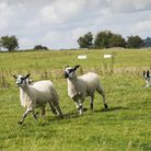 Dovedale sheepdog trials