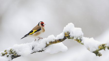 Goldfinch Photo: Fergus Gill 2020Vision