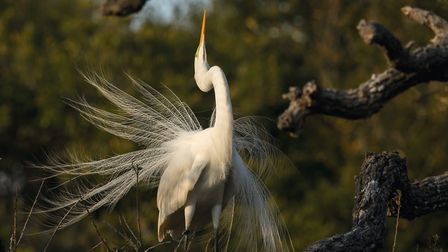 Great white egret displaying its plumes