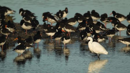 Little Egret with oystercatchers