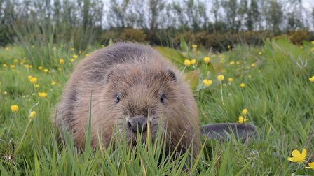 Beaver Photo: Nick Upton/ Cornwall Wildlife Trust