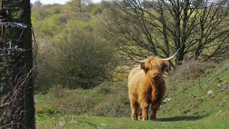 One of the Highland cattle on Hassop Common