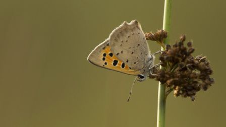 A small copper roosting
