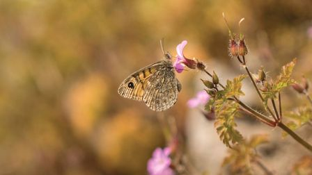 The rare wall brown