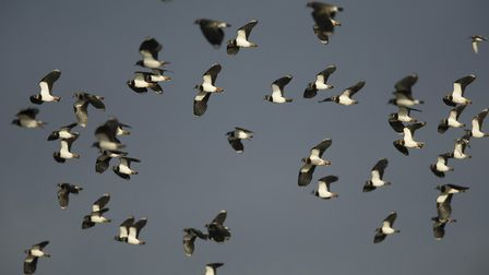 Lapwing flock in flight, winter, Vanellus vanellus