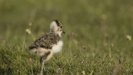 A vulnerable lapwing chick