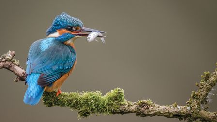 Perched adult female Kingfisher (C) Phil Scarlett/Getty Images/iStockphoto