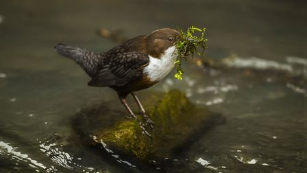 Dipper on a rock with nesting material in its beak (c) AbiWarner/Getty Images/iStockphoto